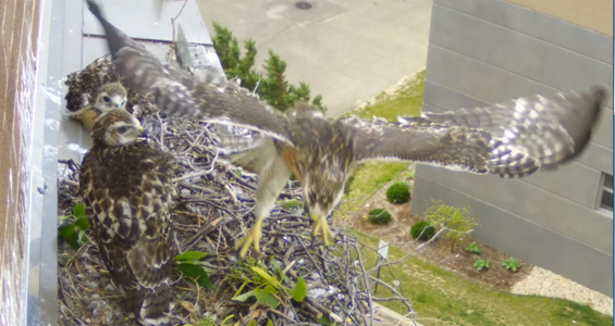 first hawk chick flies
